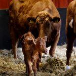 Nyfödd kalv med sin ko-mamma i halmen.