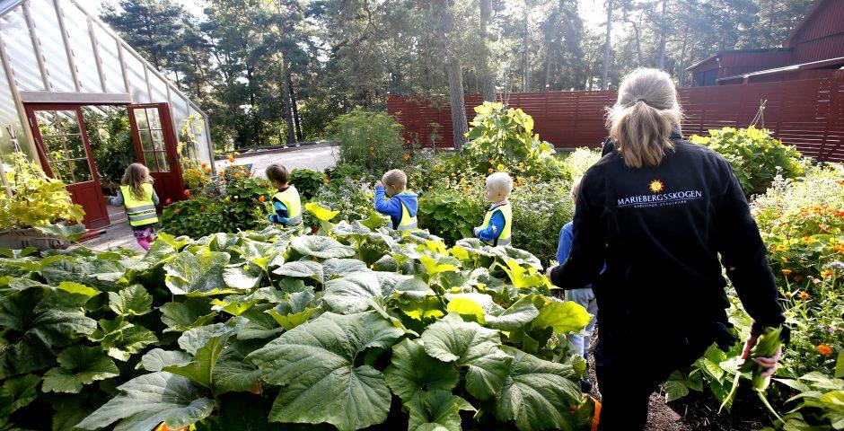 Trädgårdsmästare kliver mellan grödorna i Barnens köksträdgård.