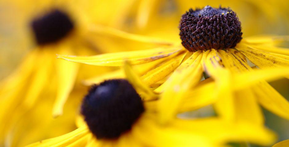 Närbild på gul blomma med mörkbrun mitt.
