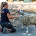 Djurvårdare kliar två får.