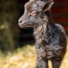 Nyfödd lammunge. Pälsen verkar mjuk och fluffig.