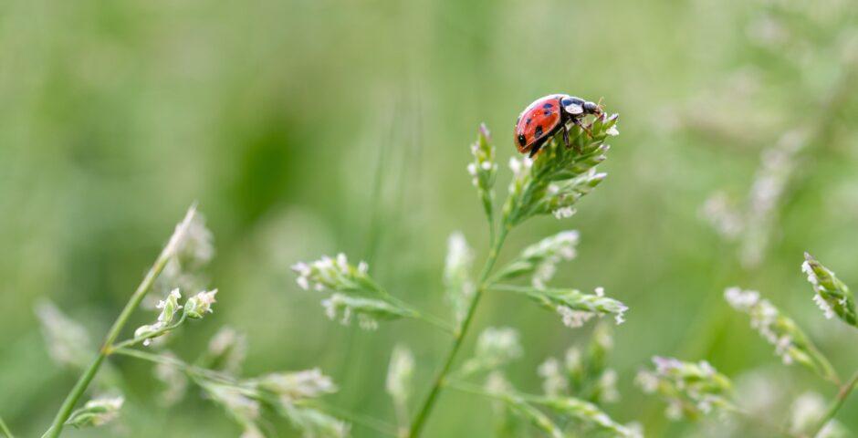 Nyckelpiga på grässtrå.