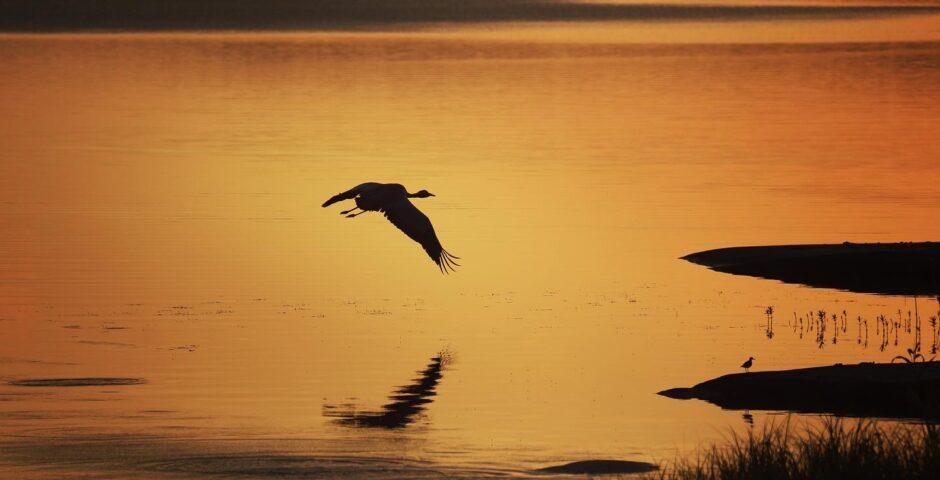 Fågel som flyger över vatten. Orangefärgad himmel speglar sig i det stilla vattnet.